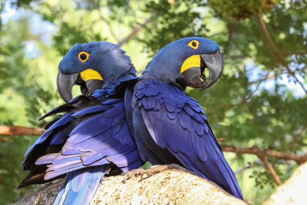 Paar von Hyazinth-Aras hocken zusammen auf einem Ast – Foto