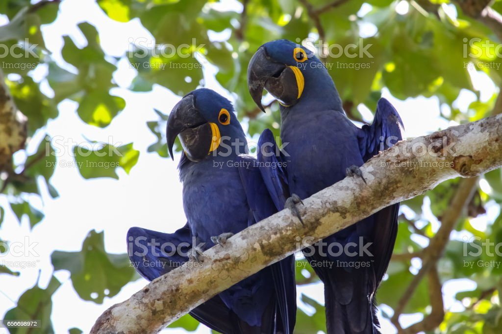 Pair of Hyacinth macaws perching together on a branch stock photo