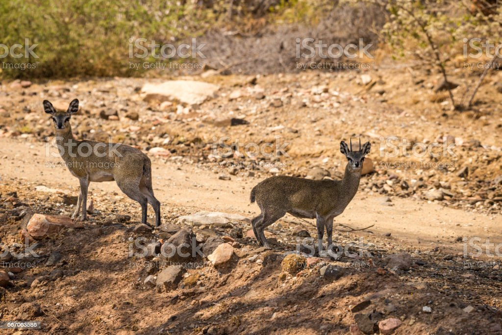 Pair of Klipspringers Standing next to Gravel Road in South Africa, Mapungubwe Park stock photo