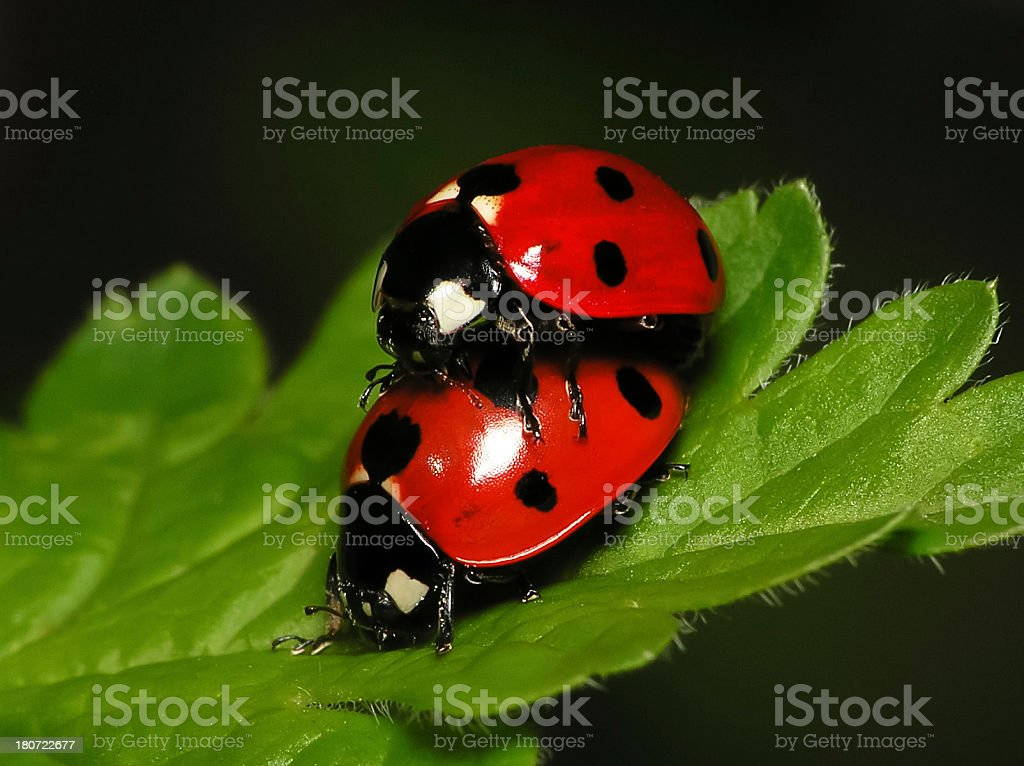 Pair of Ladybugs on Green Leaf - Close up stock photo