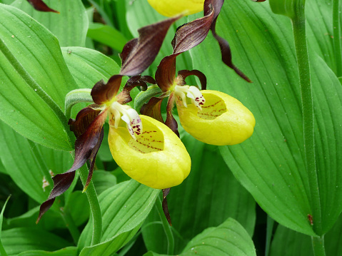 A pair of Lady's Slipper (Cypripedium calceolus) in the protected nature area, Schaffhausen, Switzerland