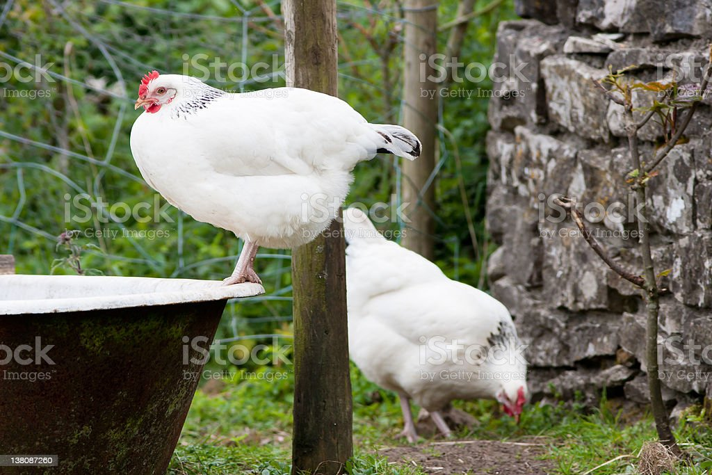 Pair of Light Sussex Chickens perched on Old Bath tub stock photo