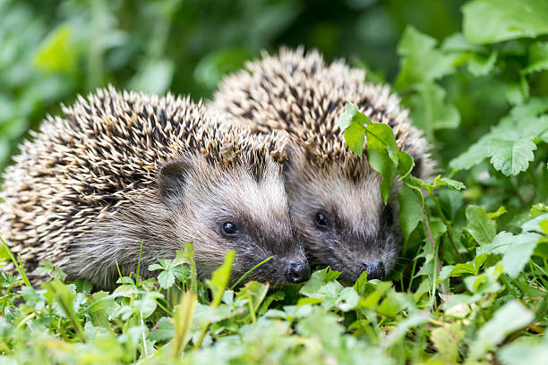 Pair of little hedgehogs outdoors - Photo