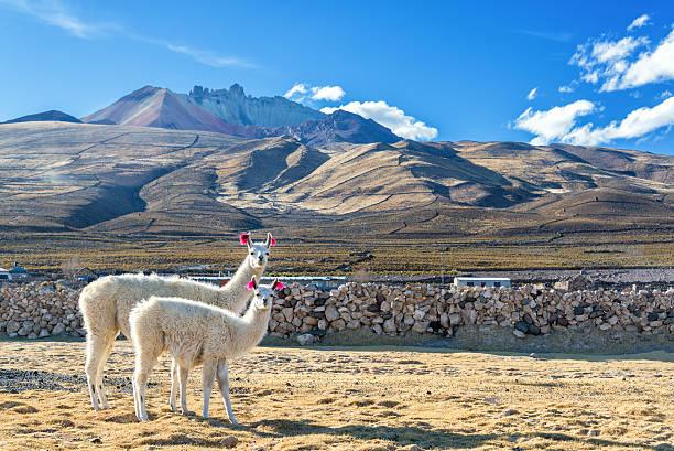 pair of llamas - 阿爾蒂普拉諾山脈 個照片及圖片檔