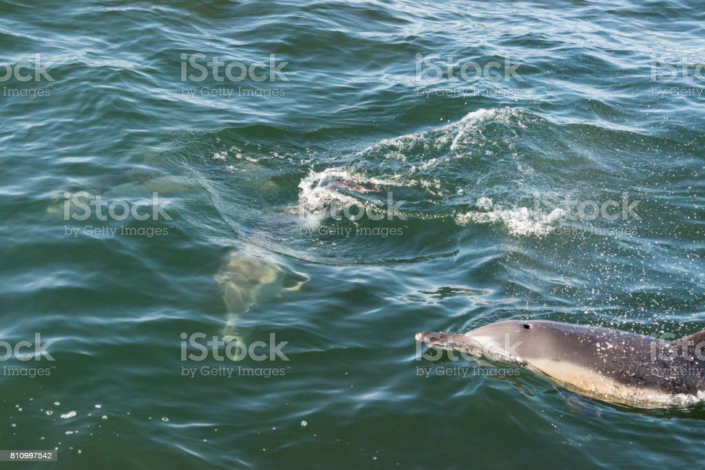 A pair of long beaked common dolphins on the coast of Gansbaai, South Africa stock photo