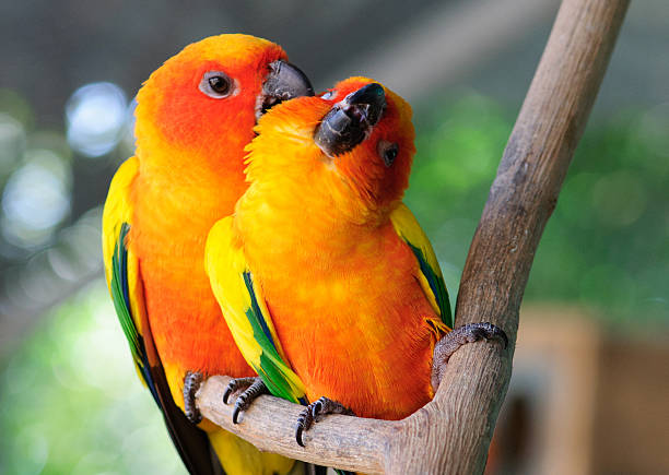 royalty free love birds pictures images and stock photos istock