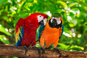 istock pair of macaws perching on a branch 507497912