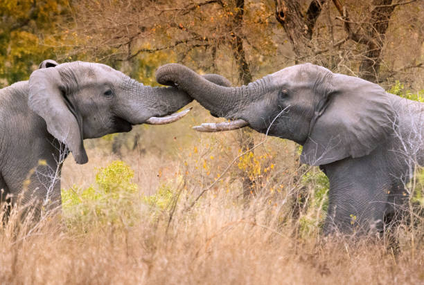 Pair of male elephants with entwined trunks Two friendly male elephants greet each other by entwining trunks animal trunk stock pictures, royalty-free photos & images