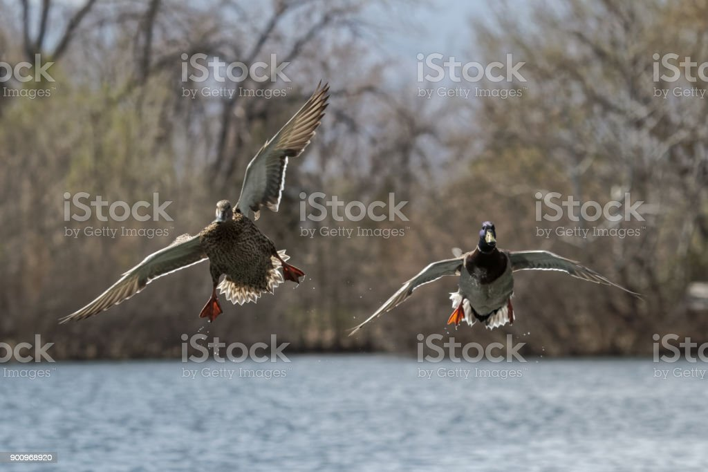 Pair of Mallards Gliding in for a Landing stock photo