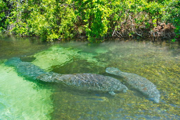 Pair of manatees in weekiwachee springs state park florida picture id831748382?b=1&k=6&m=831748382&s=612x612&w=0&h=dqyd3nyvexdyuuqpvbgcxympjbpw1pcojpl5comnryk=