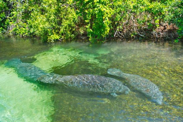 Pair of Manatees in WeekiWachee Springs State Park, Florida stock photo