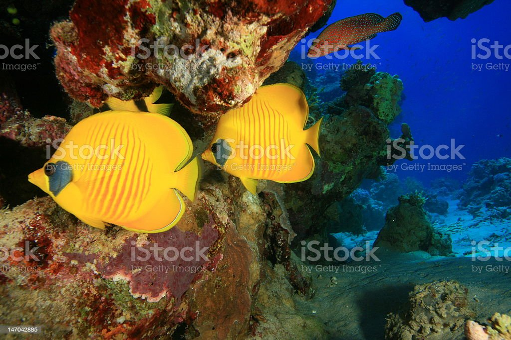 Pair of Masked Butterflyfish stock photo