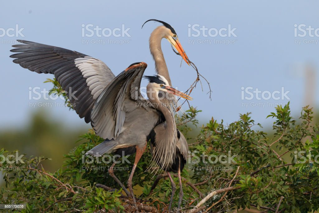 Pair of mating great blue herons with wings flying stock photo