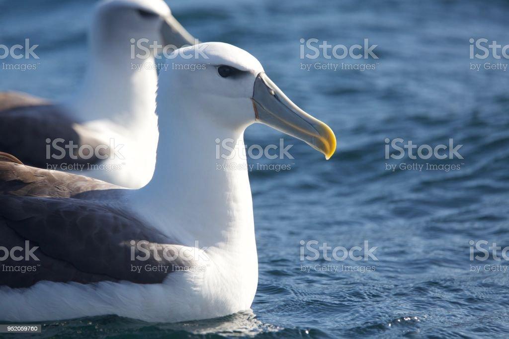 Un par de Mollyhawks en la isla sur de Nueva Zelanda - foto de stock