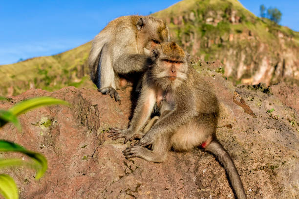 A pair of monkeys in the open nature, look after each other. On Vulcan Batur Bali. The height of 2000 meters above sea level. The female and male. stock photo