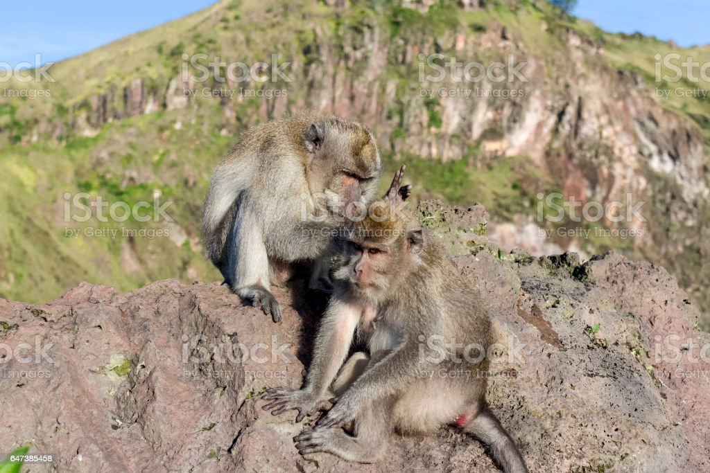 A pair of monkeys in the open nature, look after each other. stock photo