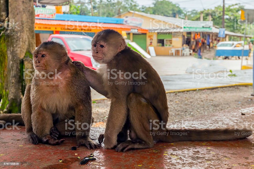 Pair Of Monkeys, South America stock photo