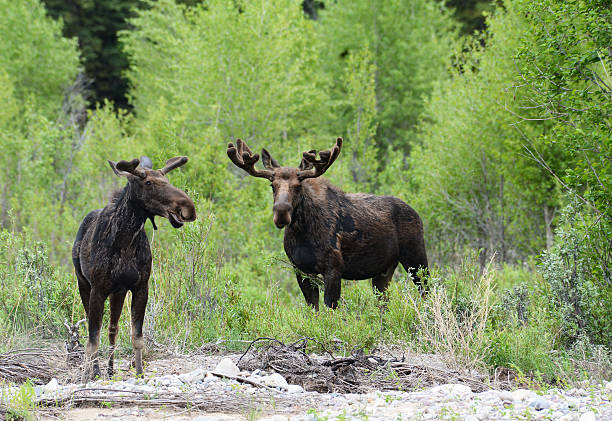 Pair of Moose surrounded by green bushes. stock photo