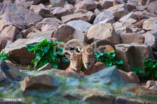 istock Pair of mountain goats sitting together with rock background 1086344186