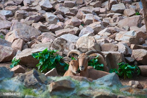 istock Pair of mountain goats sitting together with rock background 1086344242