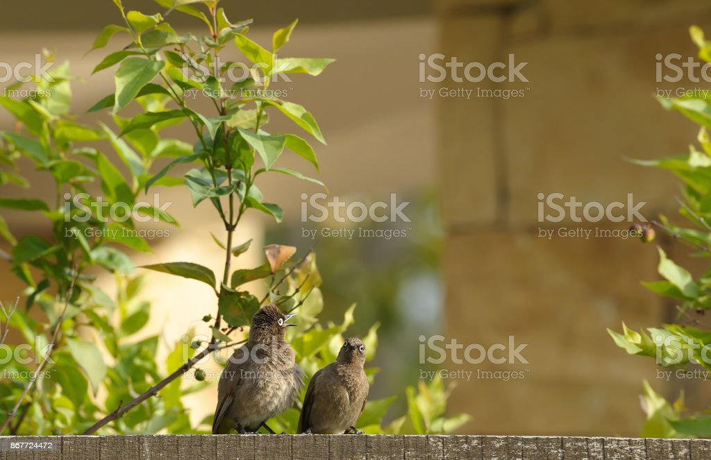 Pair of mouse birds, sitting on fence chatting to each other, Elgin Ridge Wine Estate, South Africa stock photo