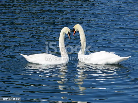 istock A pair of mute swans (Cygnus olor) mirroring on a lake 1323223918