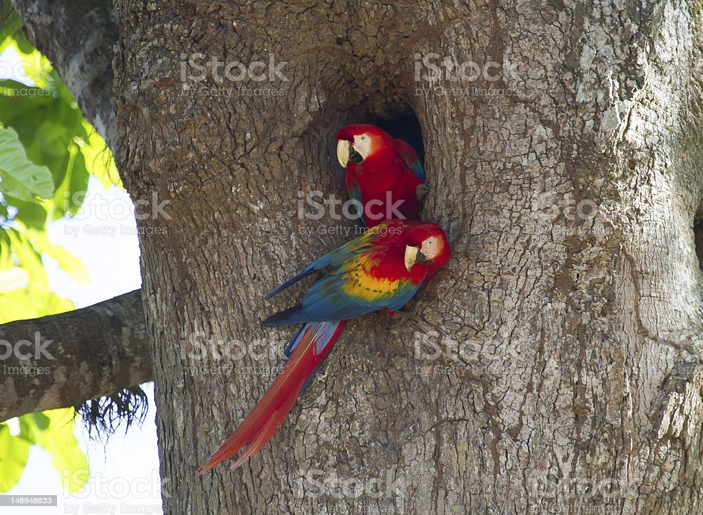 Pair of Nesting Scarlet Macaws stock photo