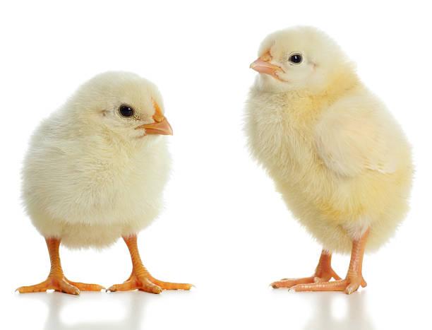 Pair of new born baby chicks stock photo