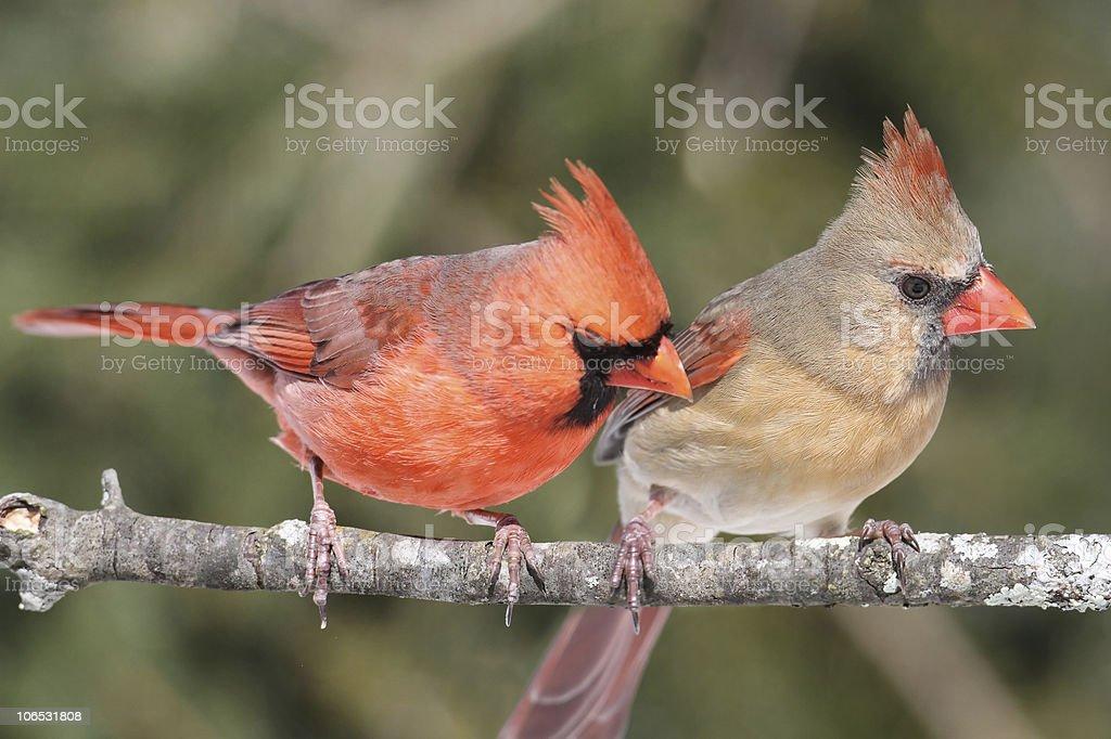 Paire de Northern Cardinals - Photo