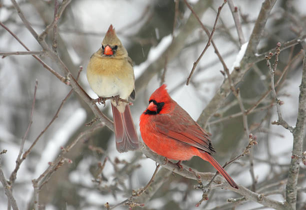 Pair of Northern Cardinals  songbird stock pictures, royalty-free photos & images