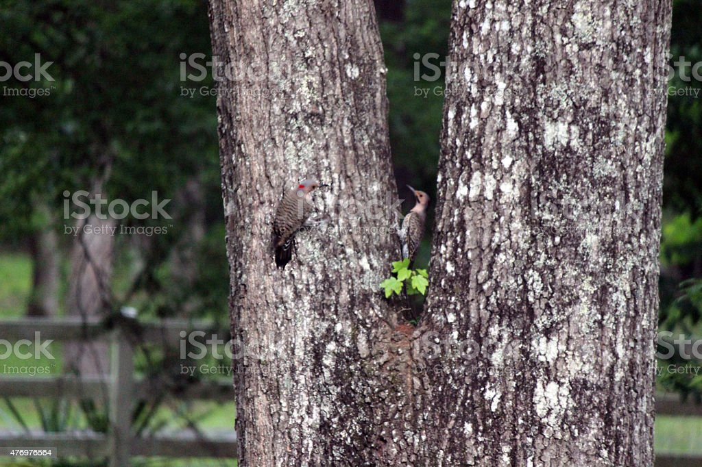 Pair of Northern Flicker Woodpeckers on Tree stock photo