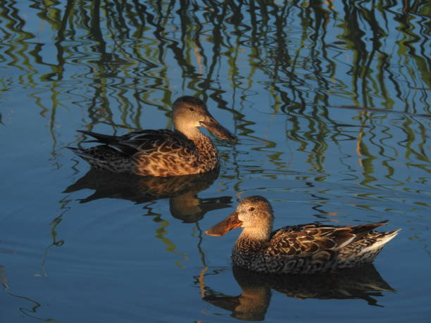 Pair of northern shovelers with shore grasses reflected in water stock photo