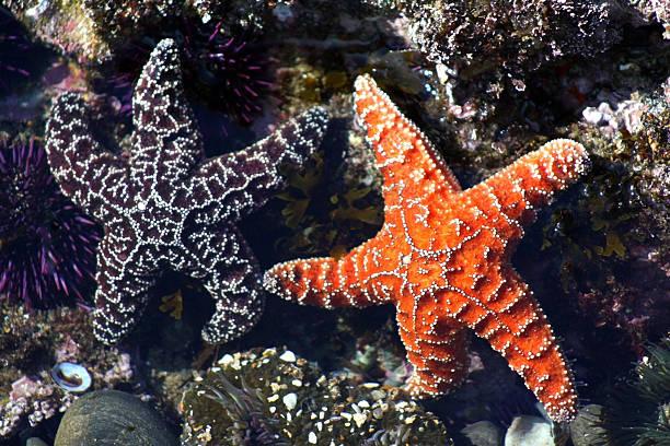 par de estrella de mar ocre en tidepool : violeta y naranja - cosas que van juntas fotografías e imágenes de stock