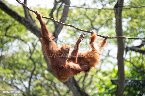 agility shown by the two orangutan again a background of trees and vines