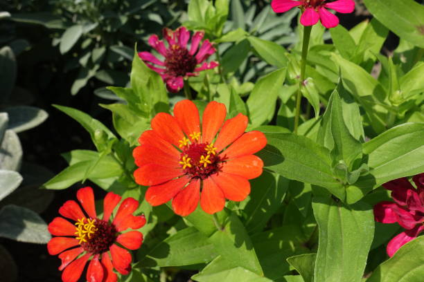 Pair of orange flower heads of Zinnia elegans in mid August Pair of orange flower heads of Zinnia elegans in mid August caenorhabditis elegans stock pictures, royalty-free photos & images