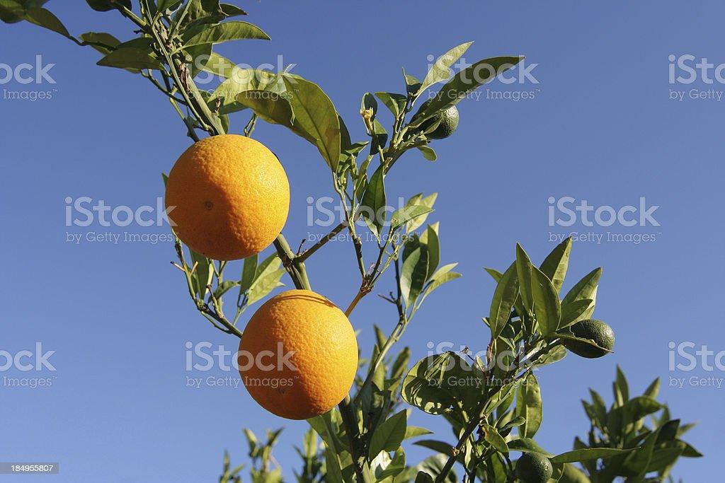 Pair of oranges royalty-free stock photo