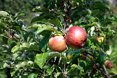 Close up of a pair of organic apples growing on a tree
