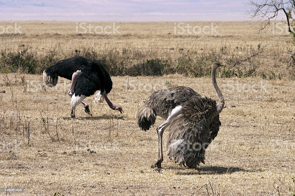 Pair of Ostriches royalty-free stock photo