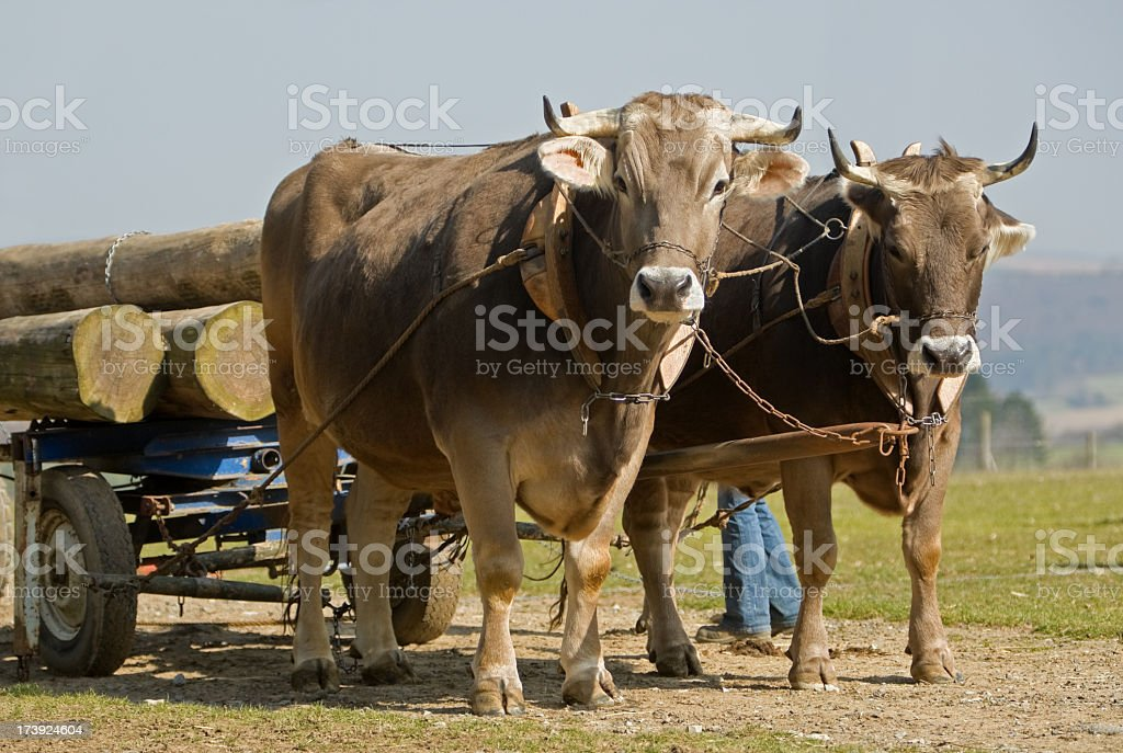 Pair of oxen hauling logs in field stock photo