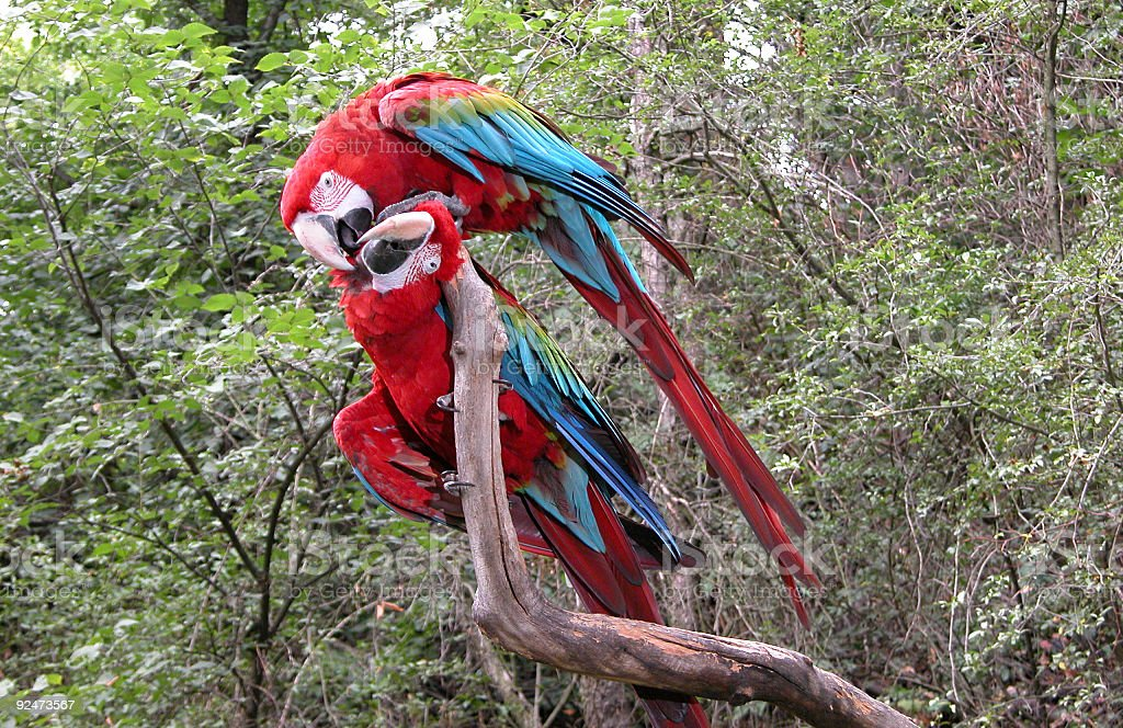 Pair of  Parrot birds kissing royalty-free stock photo