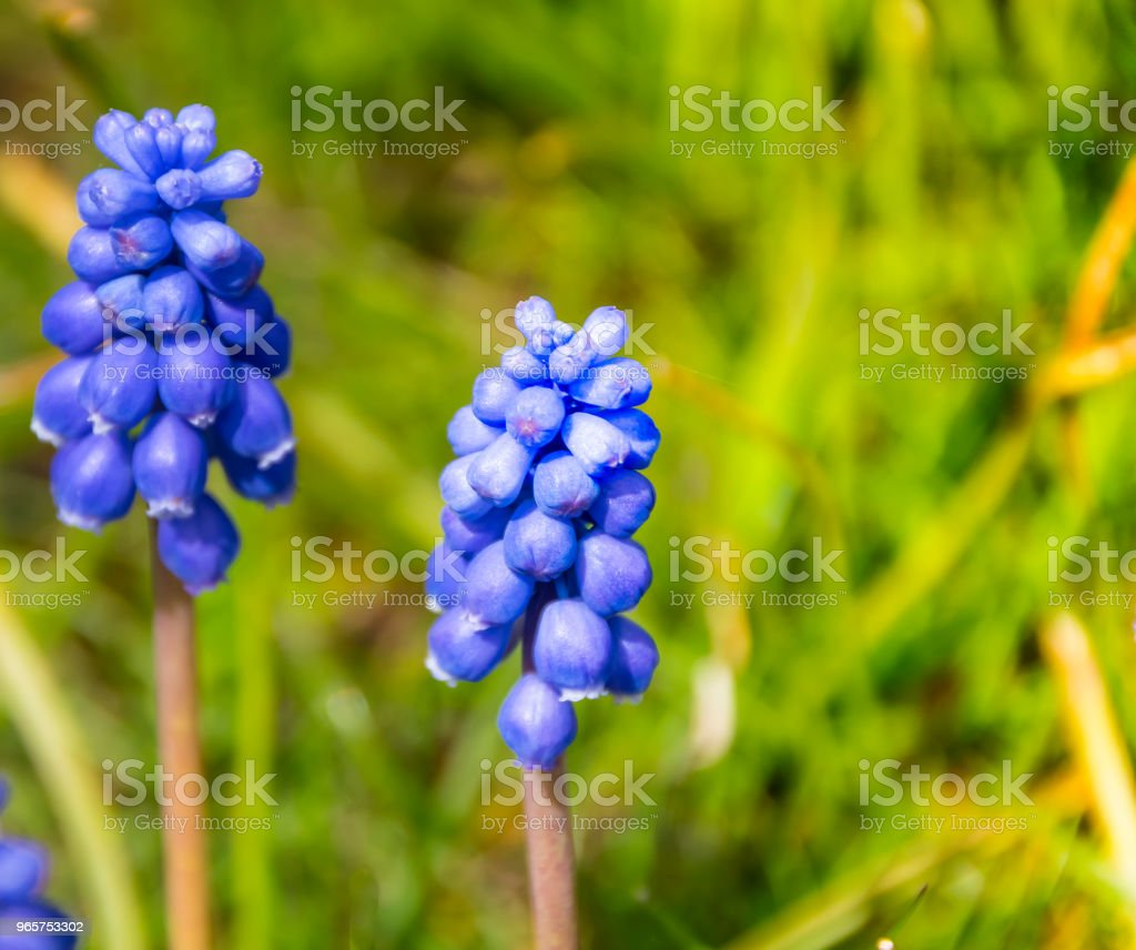 Pair of pearl hyacinths. - Royalty-free Agricultural Field Stock Photo