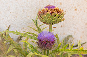 Pair of pink artichoke with the big flower on the bush