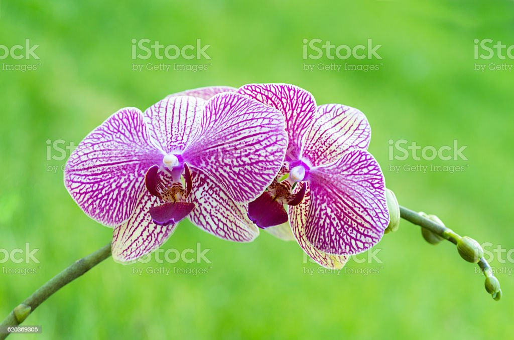 Pair of pink orchids with a soft green background foto de stock royalty-free