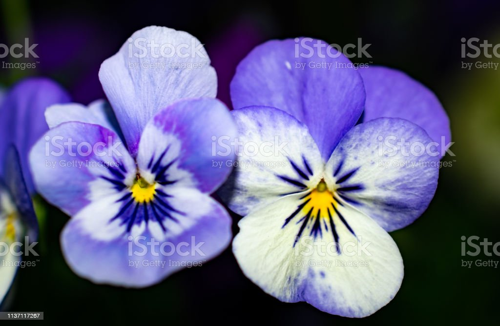 pair of purple and white flowers stock photo