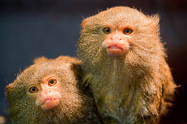 Pair of pygmy marmosets monkeys A pair of curious dwarf monkeys. Dark background. marmoset stock pictures, royalty-free photos & images