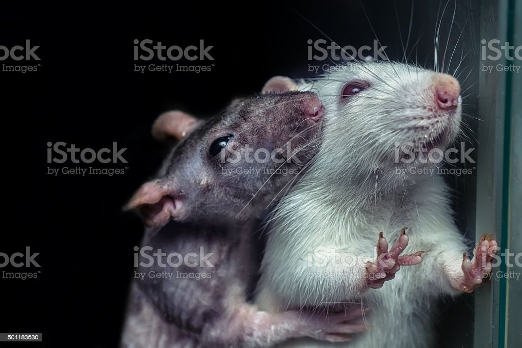 pair of rats, gray and white rats stock photo
