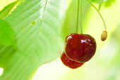Macro close up of a pair of ripe red cherries on branch among leaves on a sunny summer day.