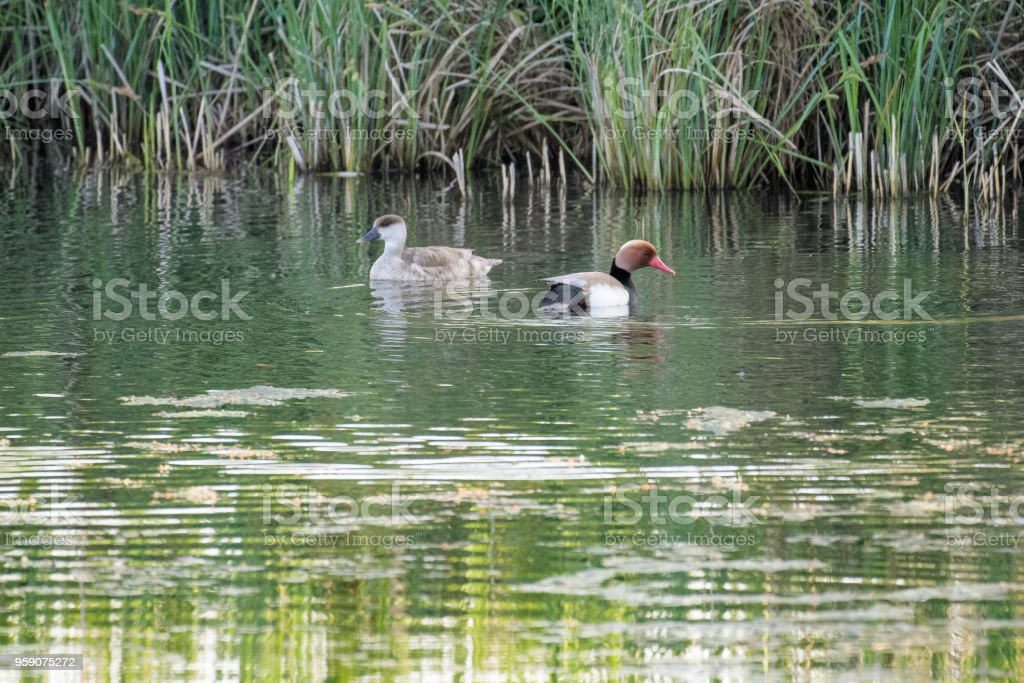 Pair of red crested pochards swimming on a lake stock photo