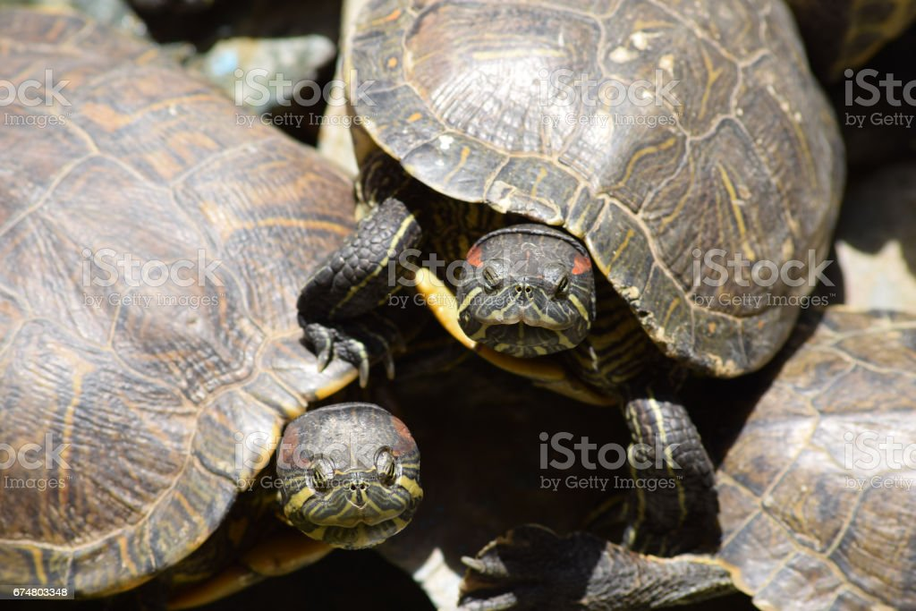 Pair of red eared slider turtles also known as Trachemys scripta elegans under the sun stock photo