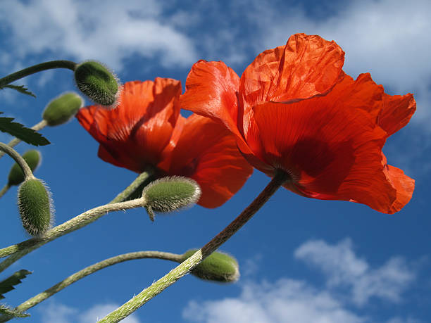 Pair of Red Poppies Stretches Skyward in May stock photo